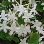 Swamp Azalea - Rhododendron viscosum