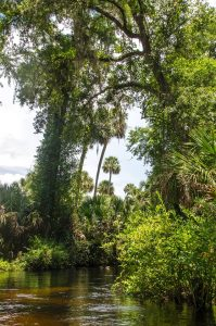 Tall Sabal Palmettos