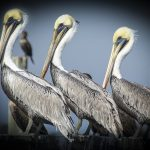 Three Pelicans - Atsena Otie