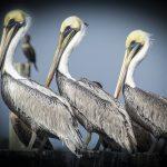 Three Pelicans - Atsena Otie