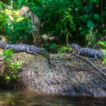 Two Young Gators - Ocklawaha River