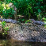 Two Young Gators - Ocklawaha River