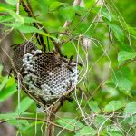 Wasp Nest - Ocklawaha River