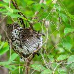 Wasp Nest - Ocklawaha River