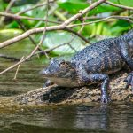 Young Gator - Ocklawaha River