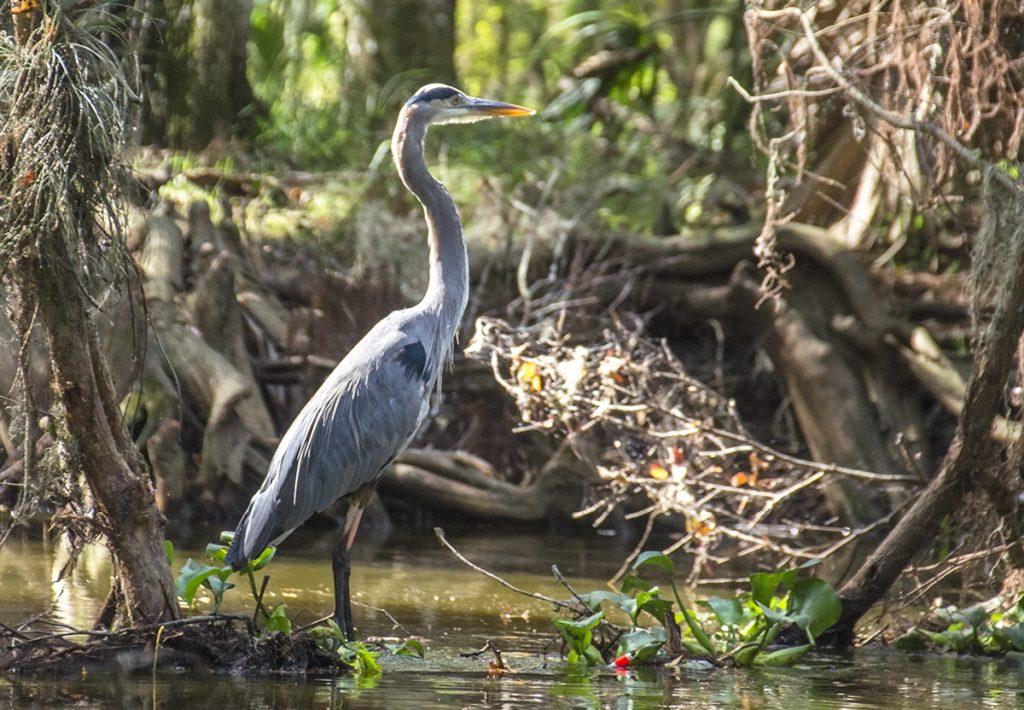 Blue Heron on Prairie Creek