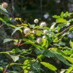 Buttonbush in bloom