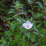 Crimson-Eyed Rose-Mallow – Hibiscus moscheutos