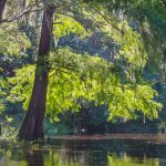 Cypress on the Withlacoochee