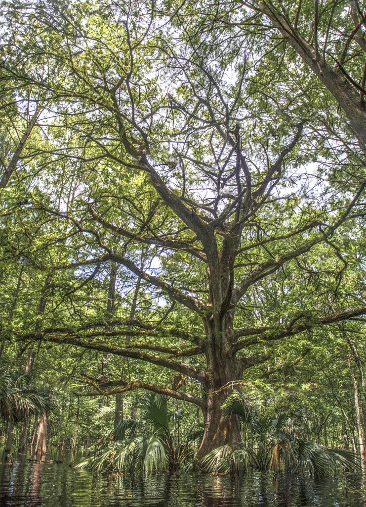 Giant Cypress on Prairie Creek