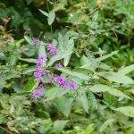 Giant Ironweed - Vernonia gigantea