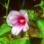 Hibiscus moscheutos v palustris