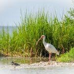 Ibis - Threskiornithinae