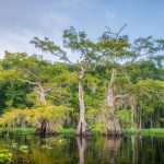 Lake Disston Cypress Shoreline