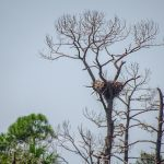 Bald Eagle nest in dead pine