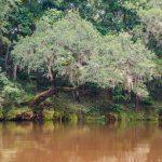 Oak Overhanging Withlacoochee River