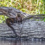 Otter on the Withlacoochee