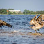 Pelicans Dancing