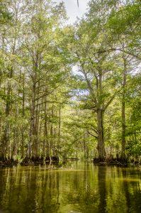 Prairie Creek Cypress