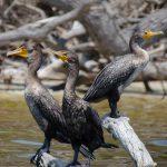 Three Cormorants