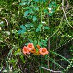 Trumpet Creeper - Campsis radicans