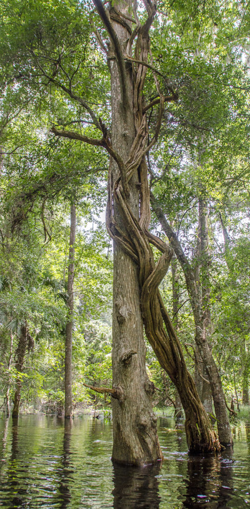 Vine Engulfs Tree