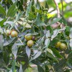Water Hickory - Carya aquatica