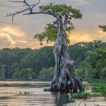 Weathered Cypress Tree