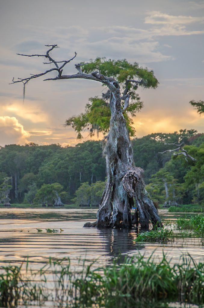 Weathered Cypress Tree