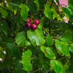 Wild Muscadine Grape - Vitis rotundifolia
