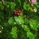 Wild Muscadine Grape - Vitis rotundifolia