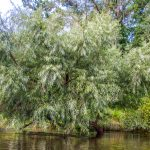 Willow on the Withlacoochee