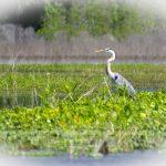 Blue Heron - Ardea herodias