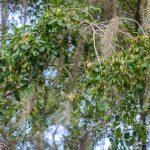 Carolina Ash - Fraxinus caroliniana