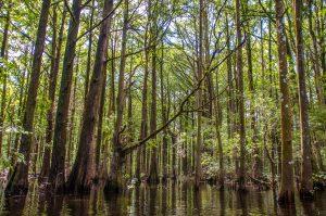 Cypress Forest on Prairie Creek