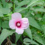 Hibiscus moscheutos palustris
