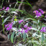 Ironweed - Vernonia fasciculata