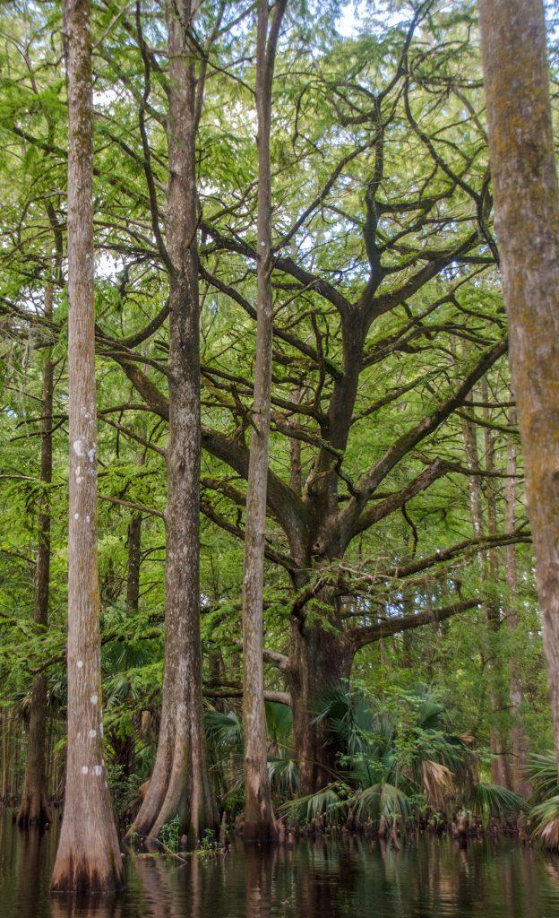 Old Cypress on Prairie Creek