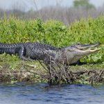 Paynes Prairie Alligator