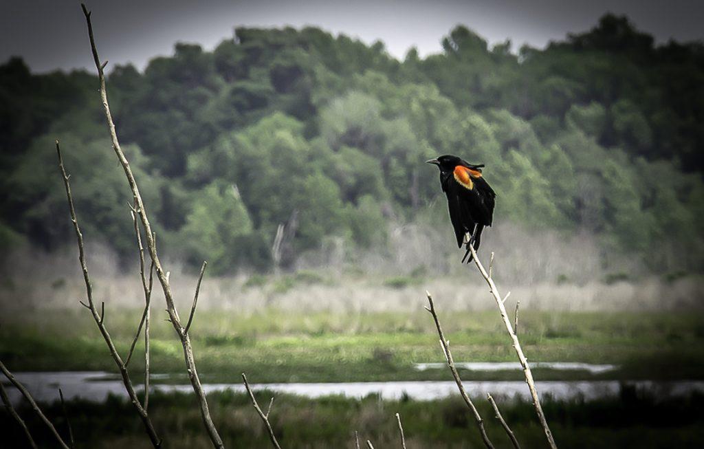 Red Wing Blackbird - Agelaius phoeniceus