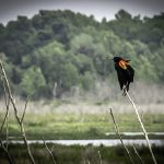 Red Wing Blackbird - Agelaius phoeniceus