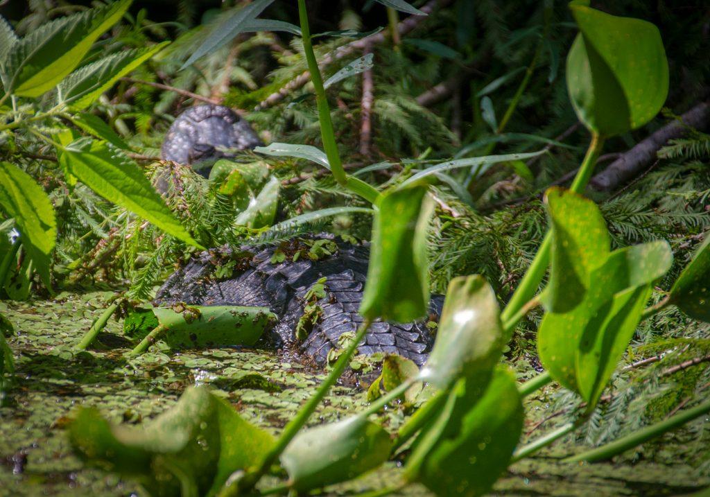 Small Gator on Prairie Creek