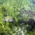 Turtle dives below the surface