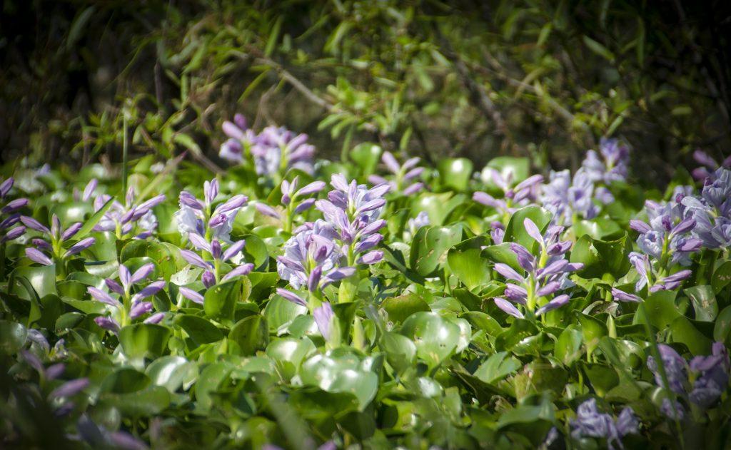 Water Hyacinth - Eichhornia crassipes
