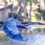 Blue Heron on Cross Creek