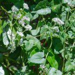 Climbing Hemp Vine - Mikania scandens