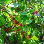 Dahoon Holly - Ilex cassine
