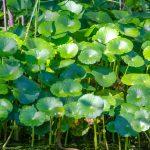 Dollarweed - Hydrocotyle umbellata