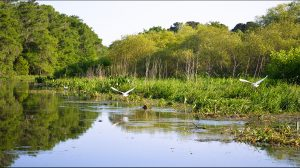 Egrets on Cross Creek