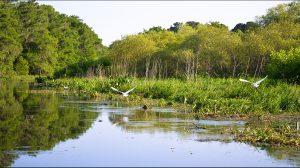 Egrets on Cross Creek